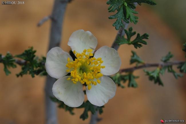 purshia - Chamaebatiaria millefolium, Vauquelinia californica, Purshia mexicana [devinettes] GBPIX_photo_778819