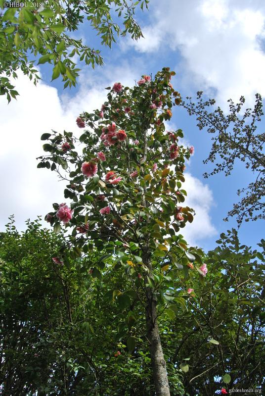 Camellia - choix & conseils de culture - Page 3 GBPIX_photo_778825
