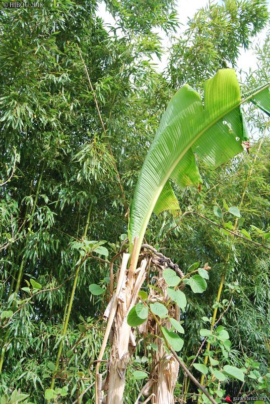Musa basjoo - bananier du Japon - Page 2 GBPIX_photo_779212
