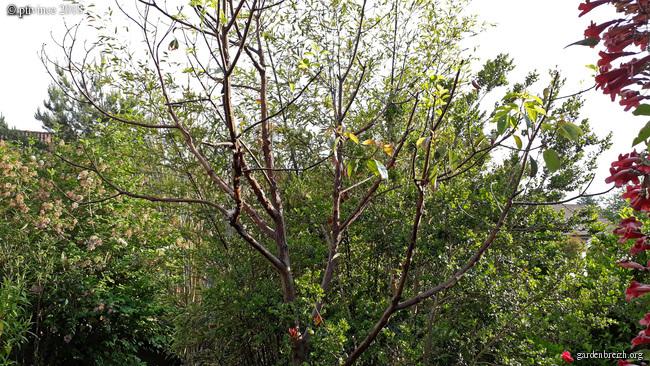 Cinnamomum camphora - camphrier - Page 4 GBPIX_photo_781403