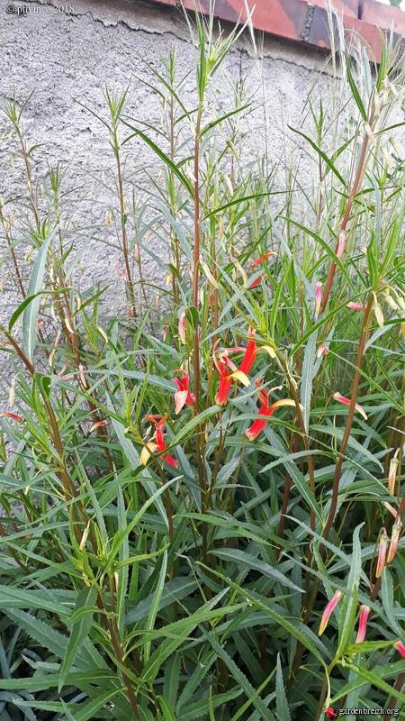 Lobelia laxiflora GBPIX_photo_782654