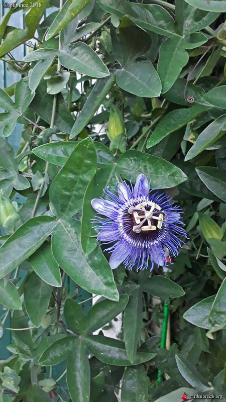 Passiflora 'Purple Haze' - Page 2 GBPIX_photo_790567