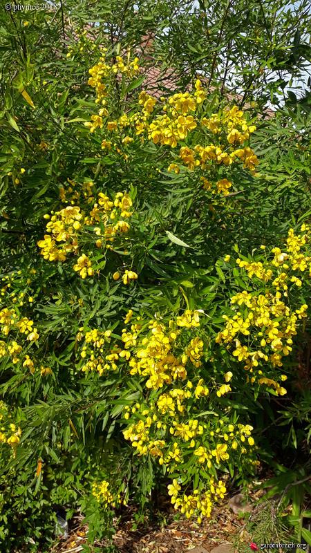 Senna floribunda et Senna corymbosa (= Cassia) - Page 2 GBPIX_photo_791650