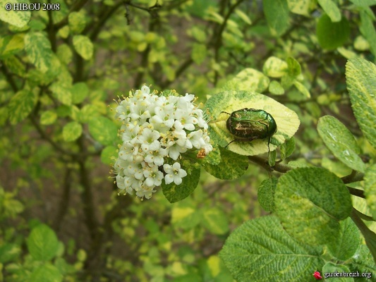 Viburnum lantana - viorne mancienne GBPIX_photo_87203