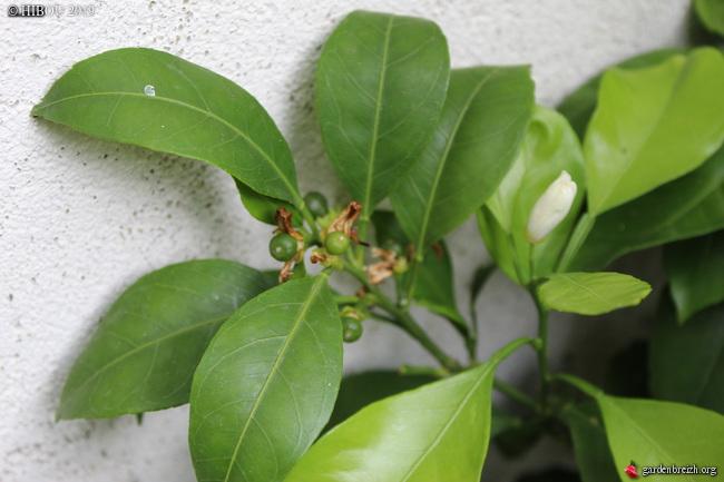 Citrus reticulata subsp. unshiu - mandarinier satsuma GBPIX_photo_807453