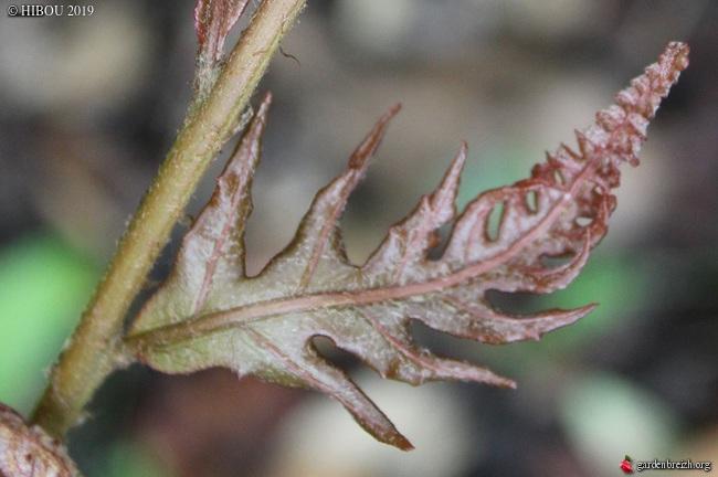 Woodwardia unigemmata - fougère à une gemme   GBPIX_photo_807466