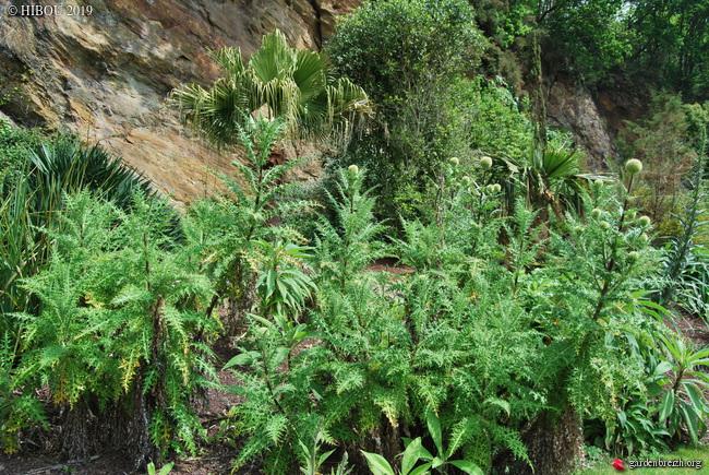 Echinops hedgei [identification] GBPIX_photo_810089