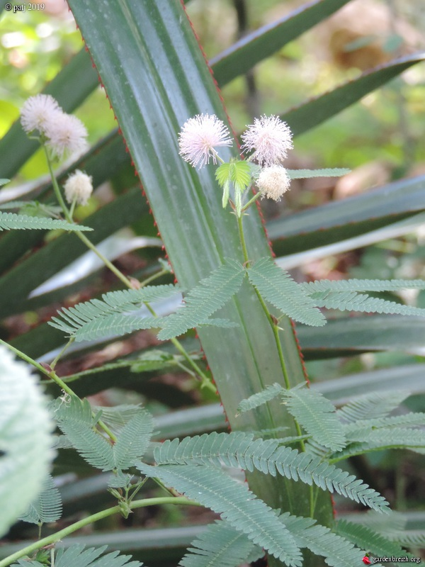 Mimosa polycarpa 'Spegazzinii' GBPIX_photo_810924