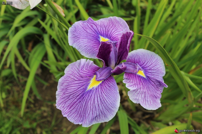 Iris ensata 'Kimono' GBPIX_photo_812082