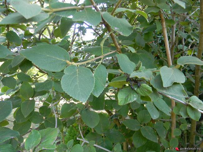 Viburnum lantana (trouvé par Neira) GBPIX_photo_814520