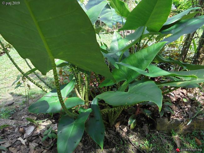 Alocasia zebrina GBPIX_photo_814589