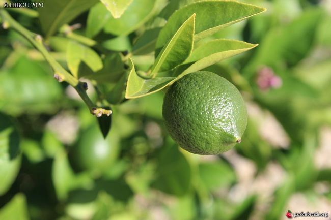 Citrus 'Meyer' GBPIX_photo_820288