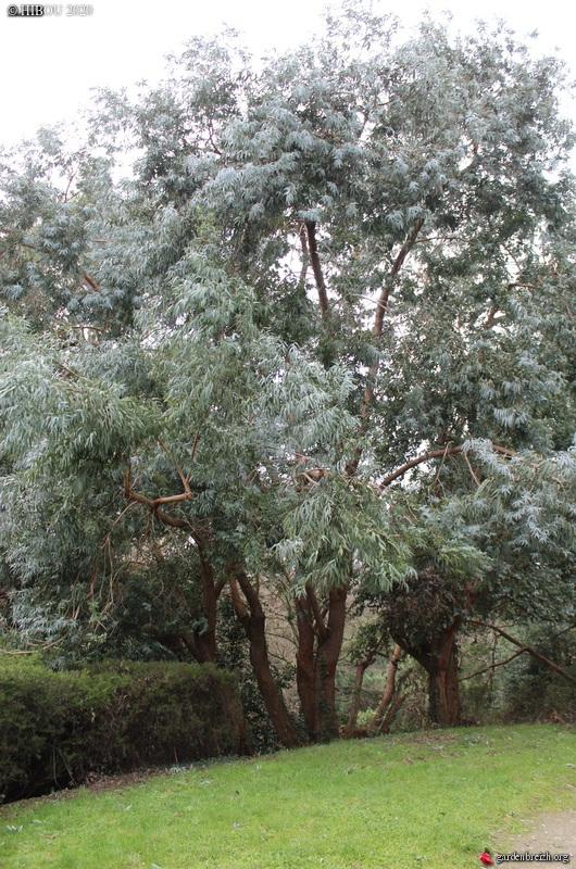 Eucalyptus à identifier GBPIX_photo_821118
