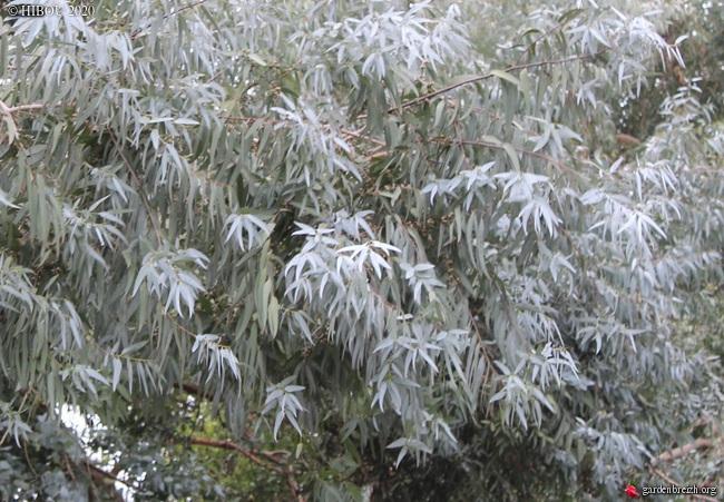 Eucalyptus à identifier GBPIX_photo_821120