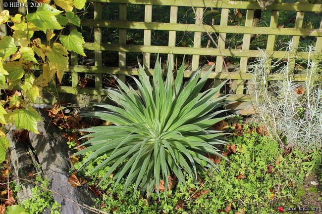 Echium wildprettii GBPIX_photo_821148