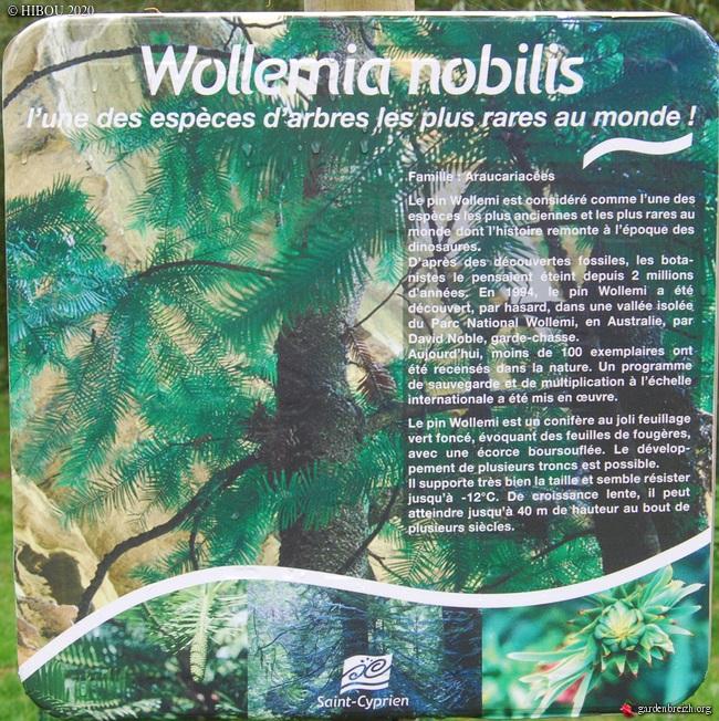 Wollemia nobilis - pin de Wollemi GBPIX_photo_821576