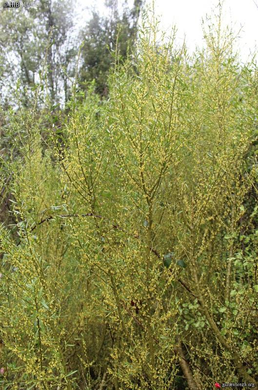 Melicytus angustifolius (= Hymenanthera angustifolia) GBPIX_photo_822035
