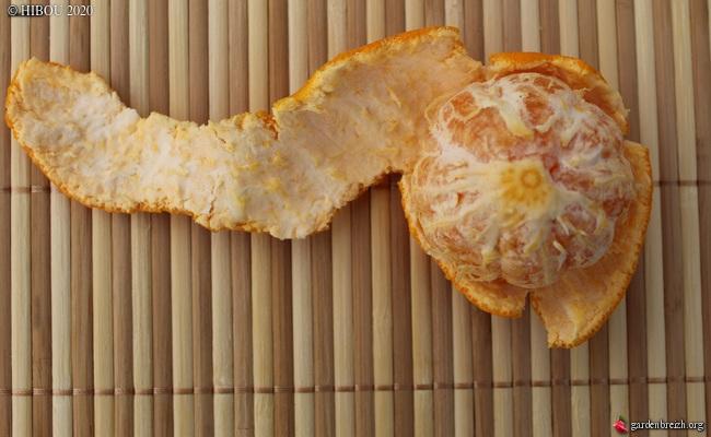 Citrus reticulata subsp. unshiu - mandarinier satsuma GBPIX_photo_822446