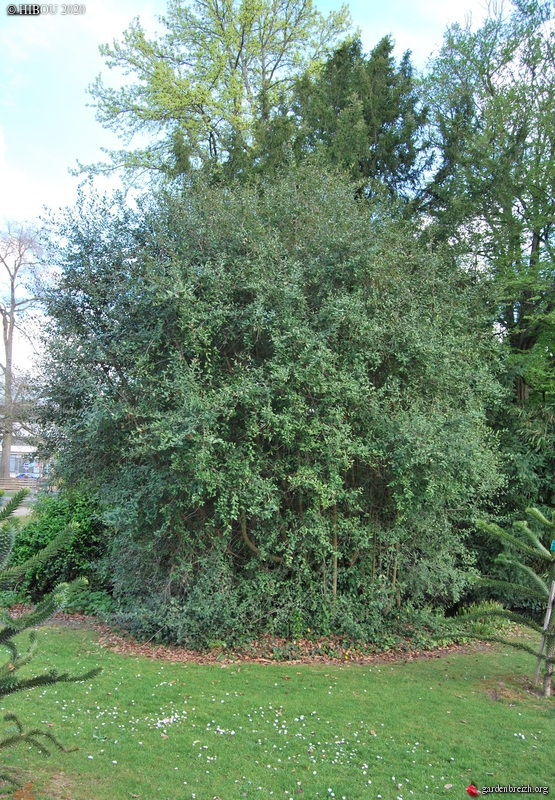 Tricuspidaria Dependens - Crinodendron patagua, patahua du Chili GBPIX_photo_823711