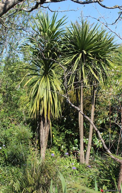 Cordyline australis - Page 3 GBPIX_photo_824540