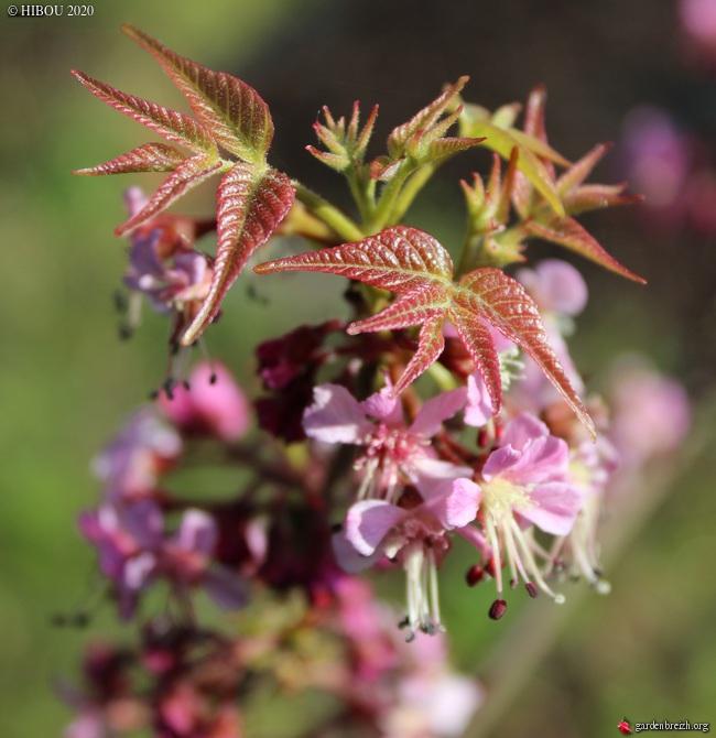 Ungnadia speciosa GBPIX_photo_824569