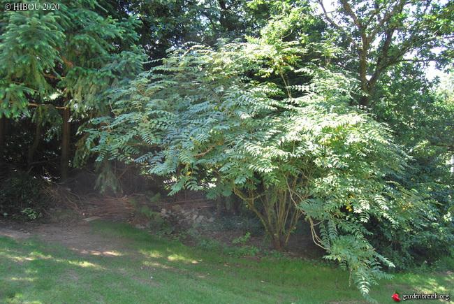 Decaisnea fargesii - arbre aux haricots bleus GBPIX_photo_827442