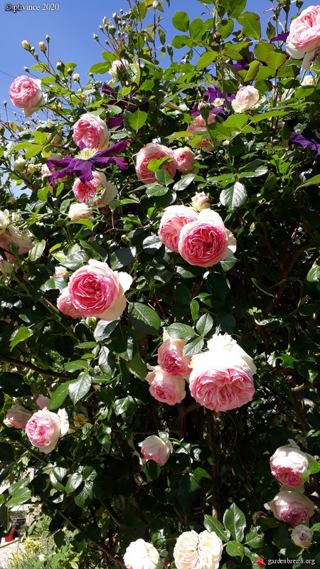 rosier 'Pierre de Ronsard' GBPIX_photo_828232