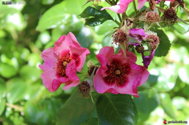 tous ces rosiers que l'on aime - floraisons - Page 6 GBPIX_photo_829256