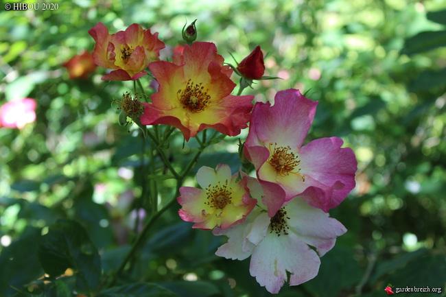 tous ces rosiers que l'on aime - floraisons - Page 6 GBPIX_photo_829287