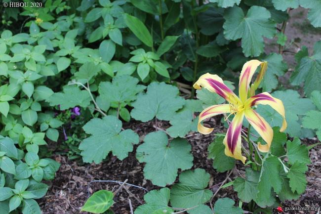 Hemerocallis - des variétés - Page 8 GBPIX_photo_830133