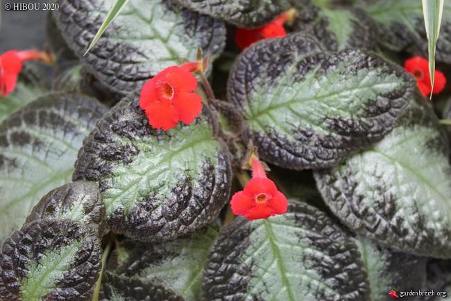 Episcia cupreata [Identification ]Une tropicale à identifier GBPIX_photo_832436