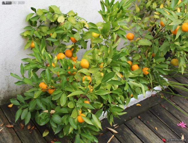 Citrus reticulata subsp. unshiu - mandarinier satsuma - Page 2 GBPIX_photo_834722
