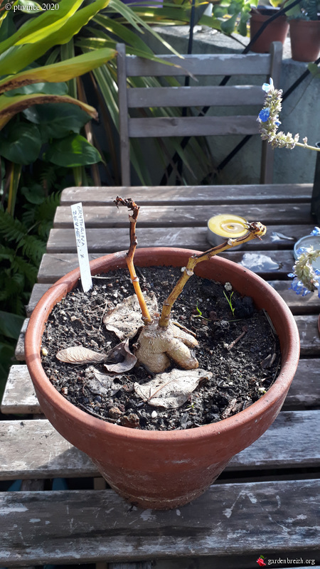 Erythrina zeyheri GBPIX_photo_834798