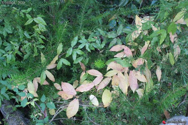 Bignonia capreolata - Page 2 GBPIX_photo_835230
