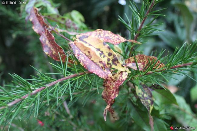 Bignonia capreolata - Page 2 GBPIX_photo_835231