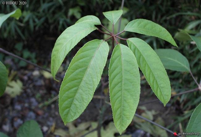 Brassaiopsis glomerulata GBPIX_photo_835233