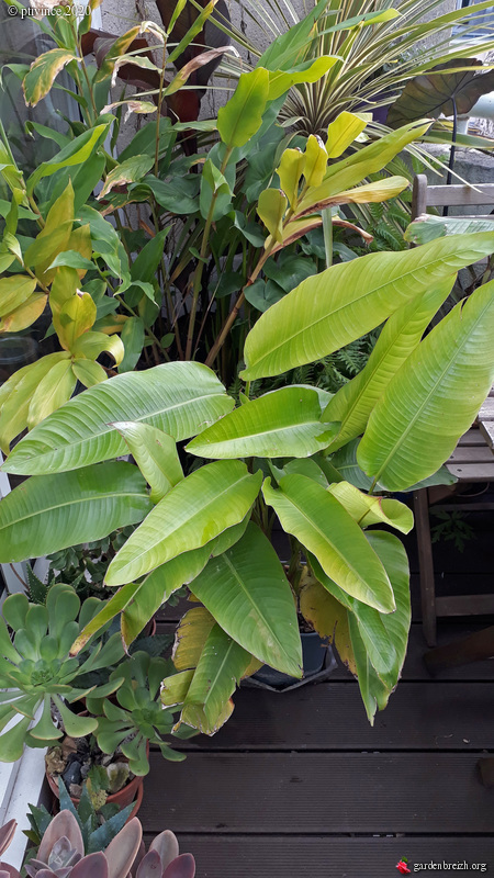 Heliconia schiedeana GBPIX_photo_835593