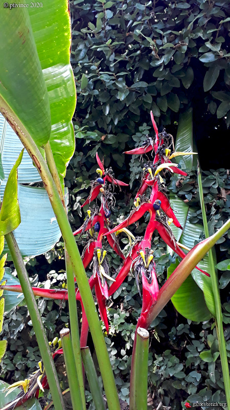 Heliconia schiedeana GBPIX_photo_835594