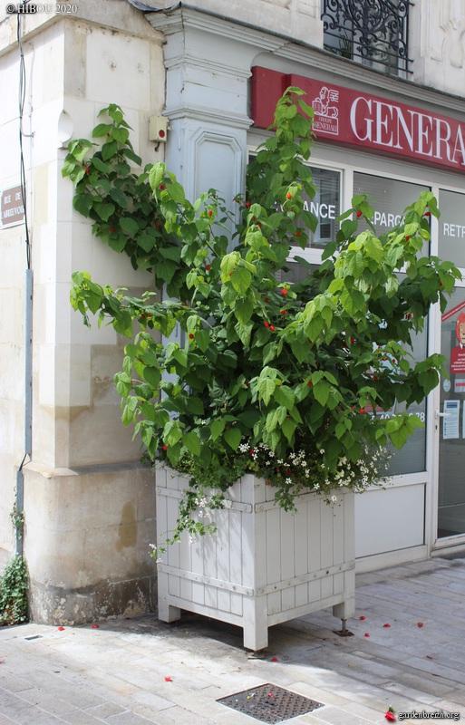 Malvaviscus arboreus - hibiscus piment, hibiscus dormant - Page 2 GBPIX_photo_836155