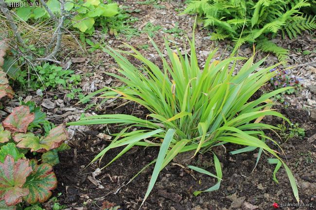 PHAENOSPERMA - Phaenosperma globosa - Herbe aux Perles GBPIX_photo_837730