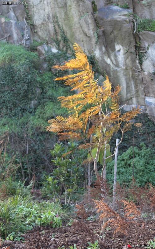 Jacaranda mimosifolia - Page 4 GBPIX_photo_837766