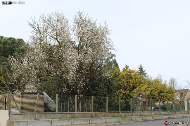 Prunus dulcis - amandier - Page 2 GBPIX_photo_839161