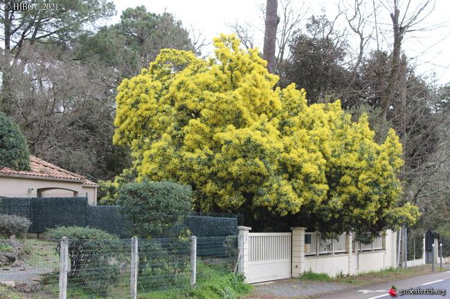 Acacia dealbata - Page 2 GBPIX_photo_839170