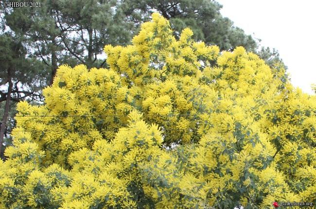 Acacia dealbata - Page 2 GBPIX_photo_839171
