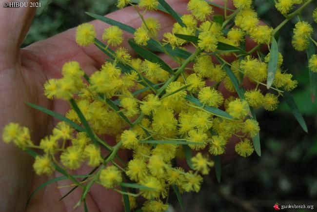 Acacia kybeanensis GBPIX_photo_839243
