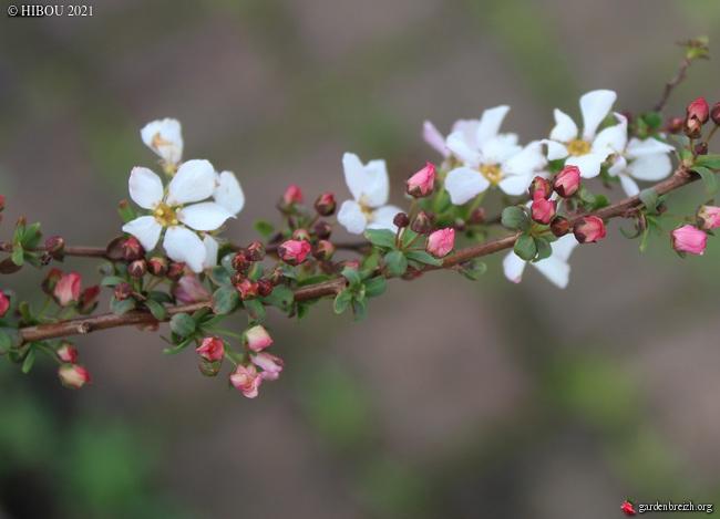 Spiraea thunbergii 'Fujino Pink' GBPIX_photo_839254