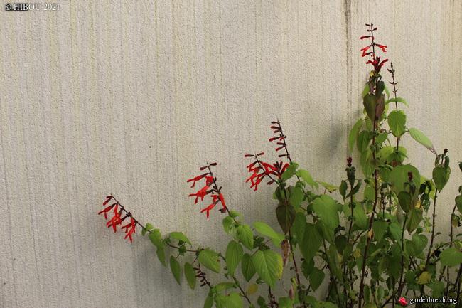 Salvia gesneriiflora GBPIX_photo_839256