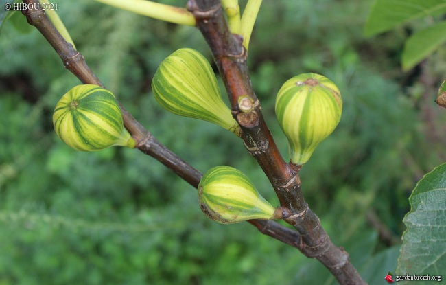 Ficus carica 'Panachée' GBPIX_photo_841740