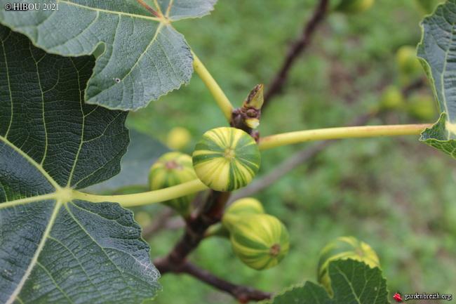 Ficus carica 'Panachée' GBPIX_photo_841741