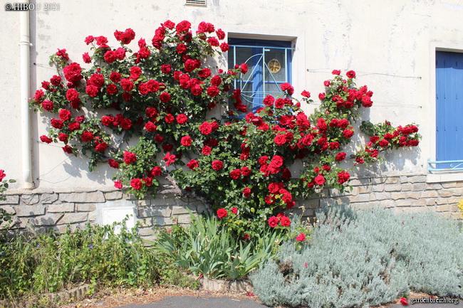 Rosa (grimpant rouge à identifier) GBPIX_photo_843175